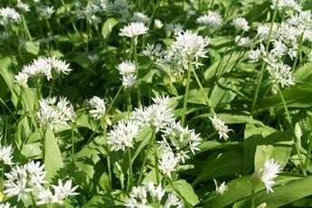Mat Follas' Wild Garlic Pesto Recipes — Dishmaps